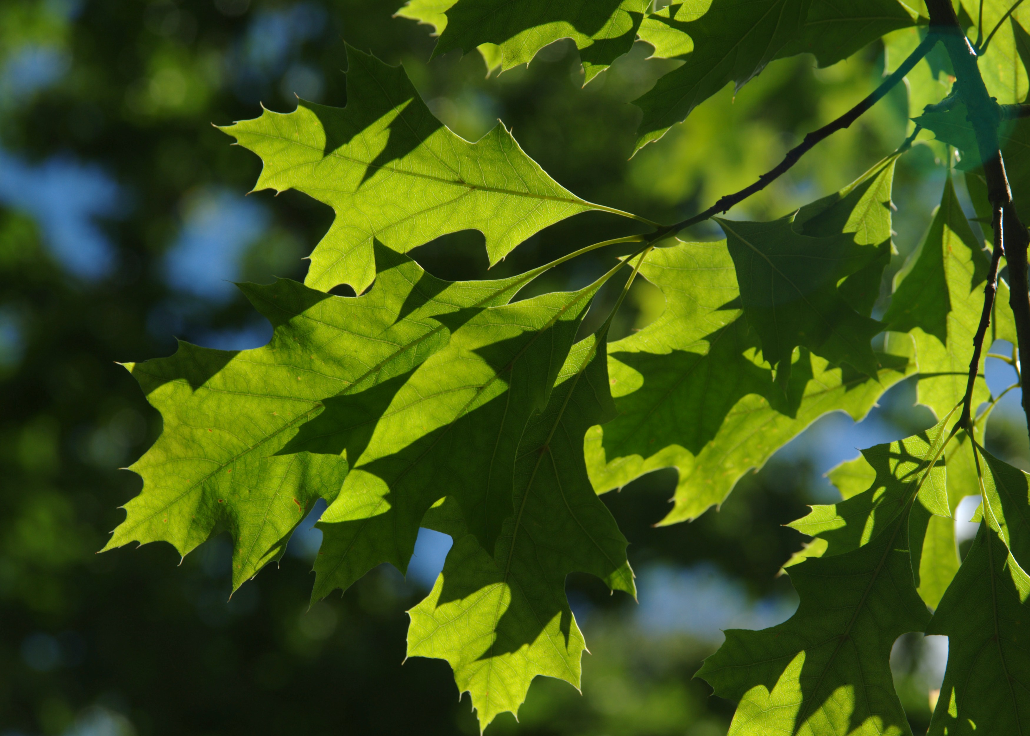 Green leaves of pin oak (Quercus palustris)