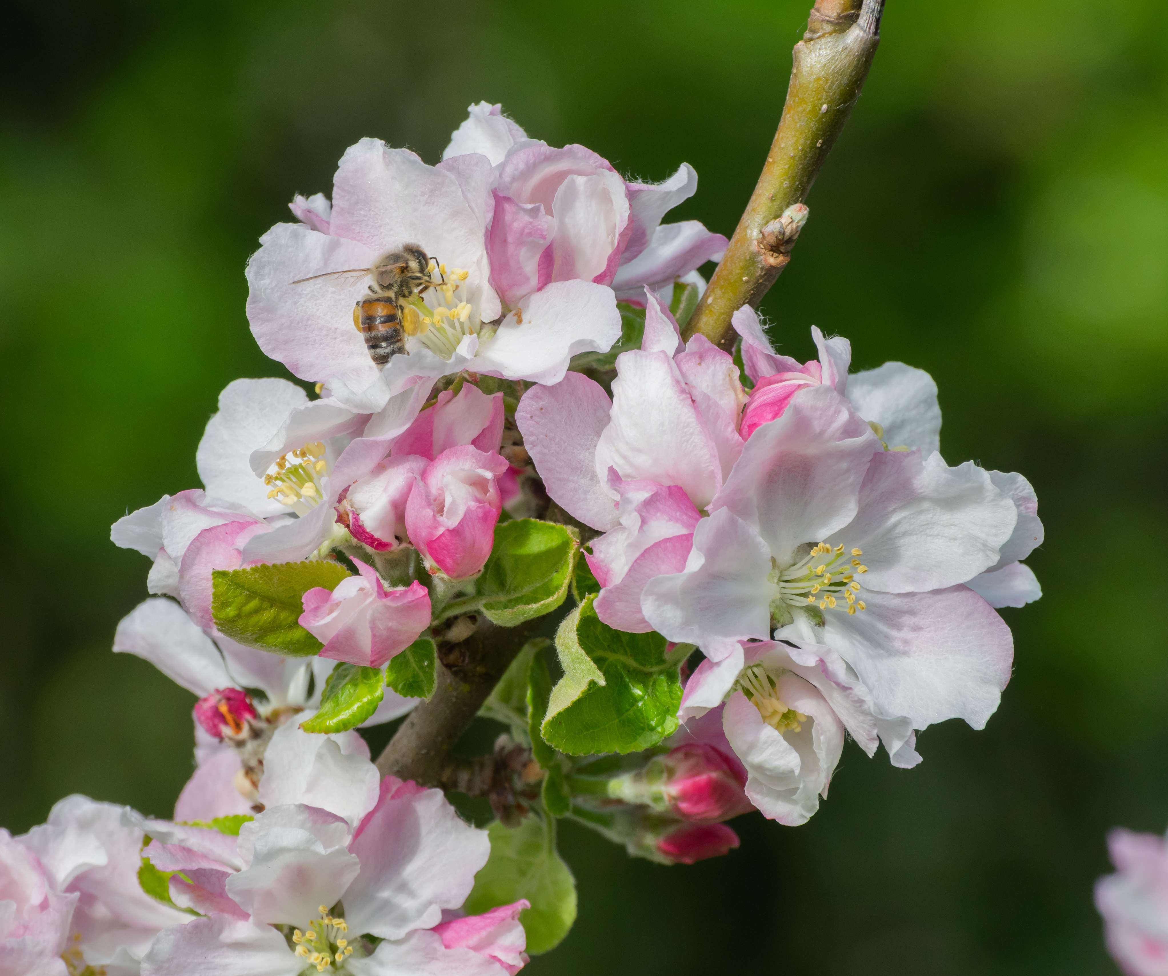Pink and white flowers of Malus domestica tree