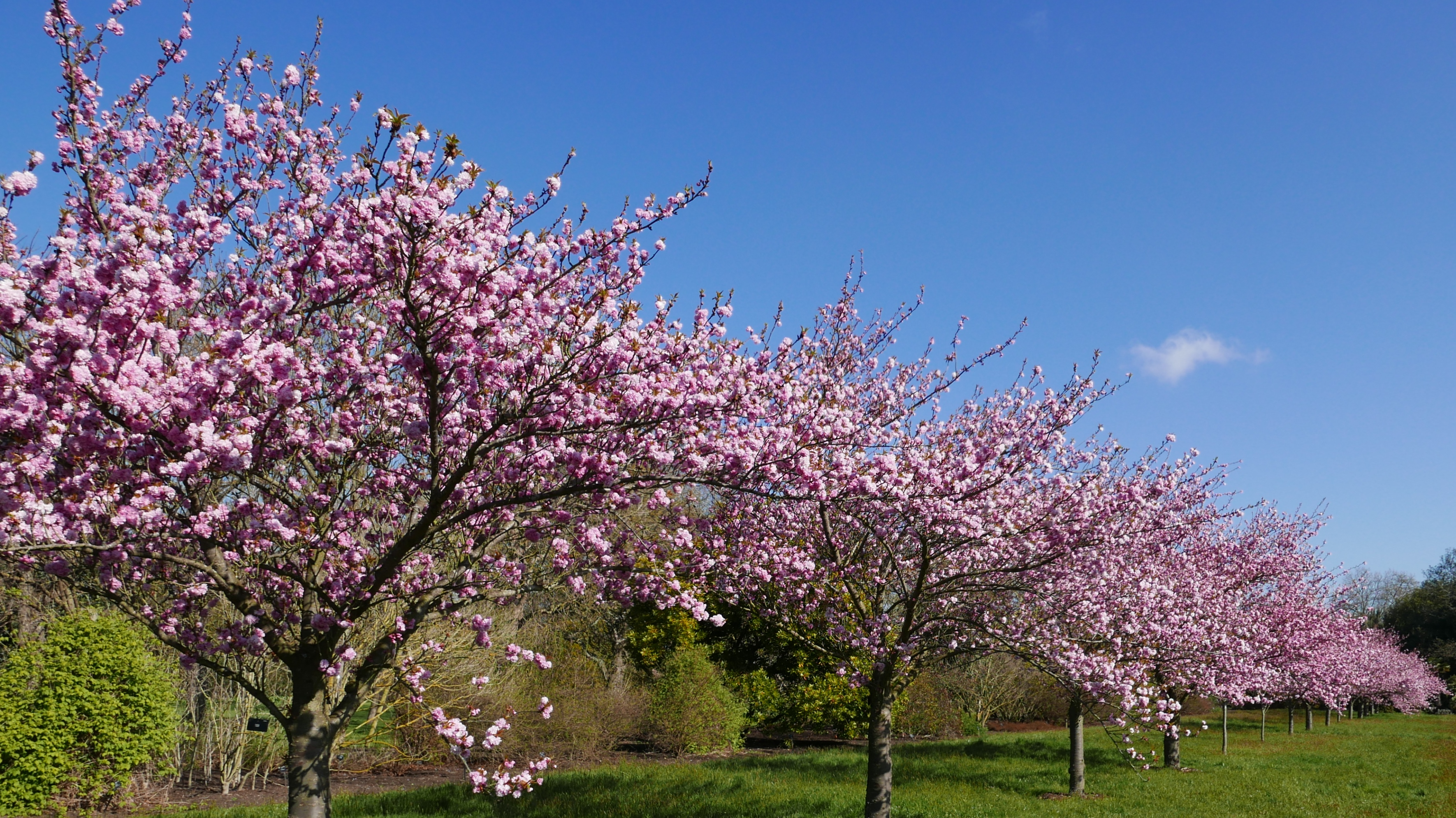 Japanese cherry trees on cherry walk with pink blossom