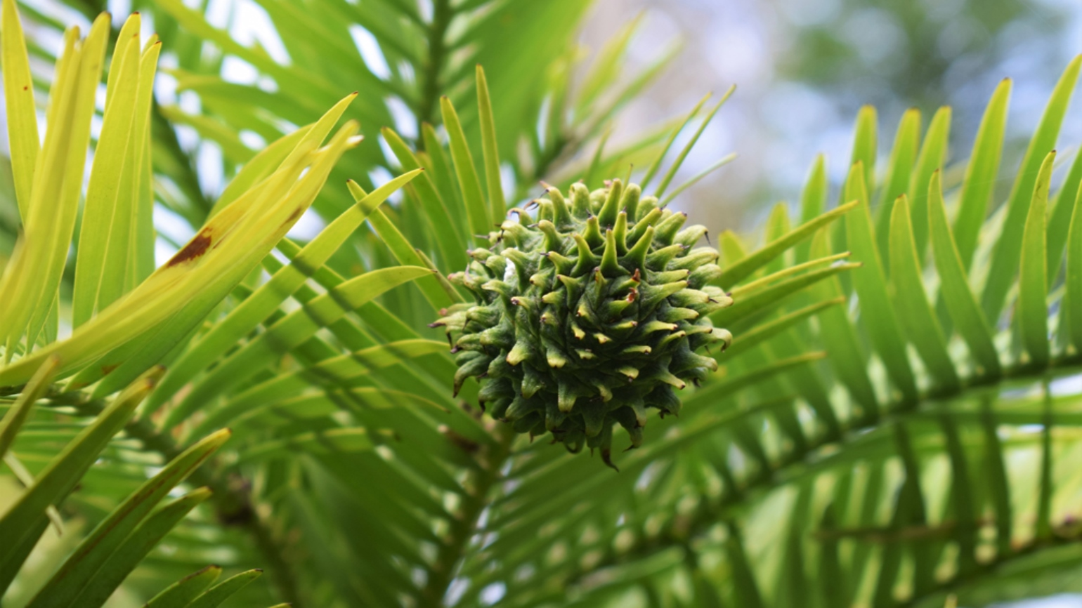 Rounded, female cone of Wollemi pine at Wakehurst