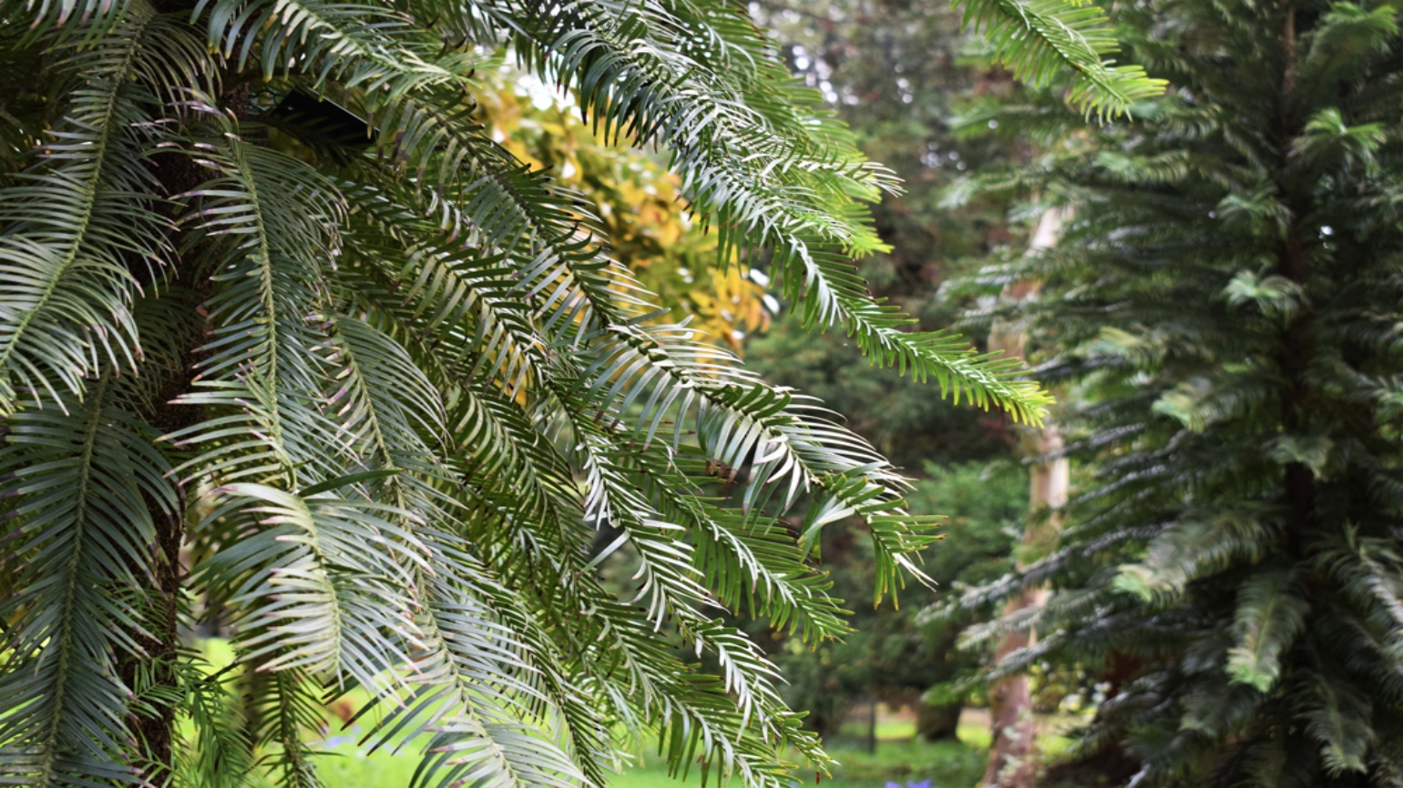 Needle-like, dark green leaves of wollemi pine at Wakehurst