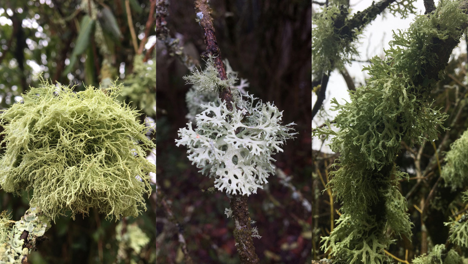 Three images of green spindly lichens