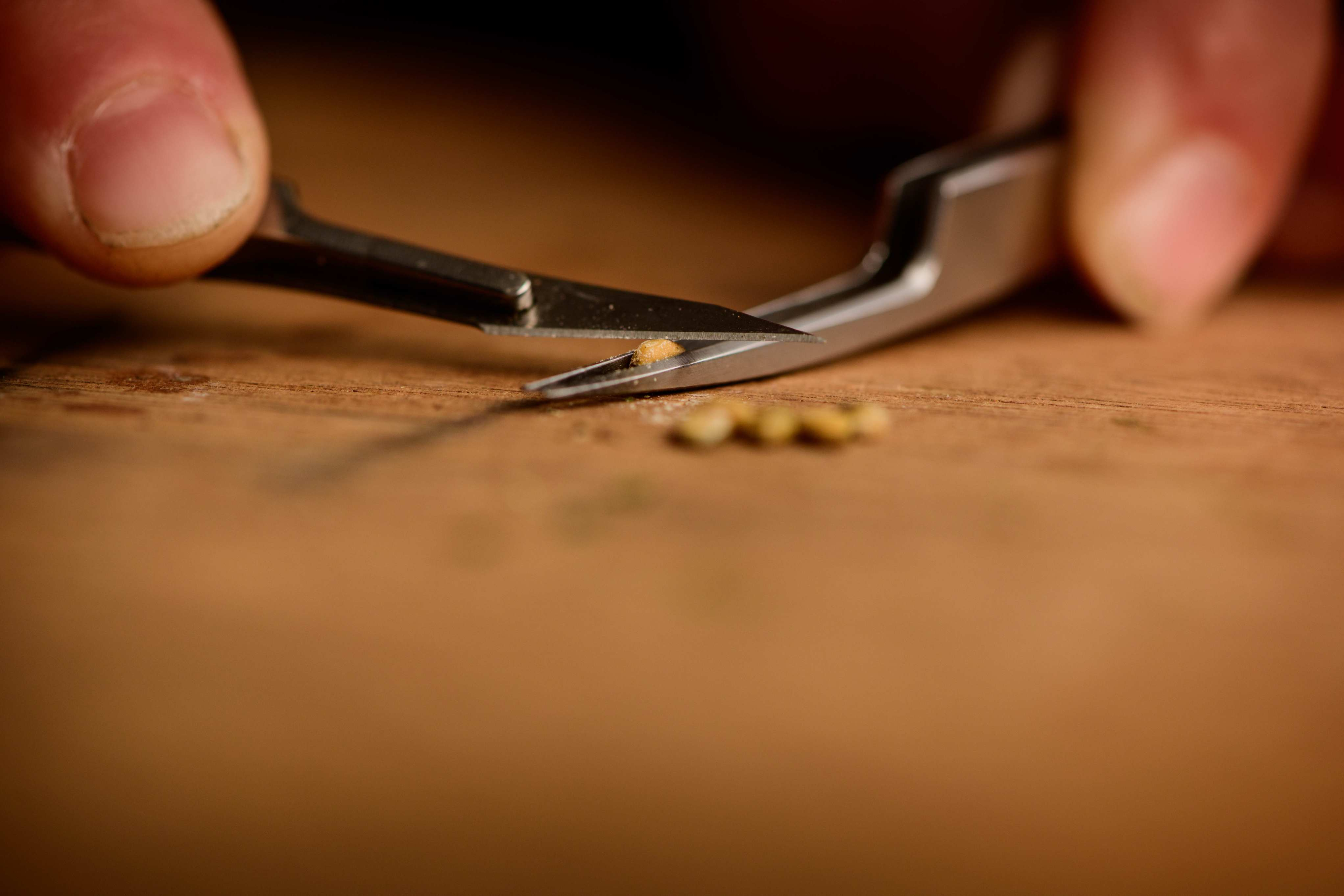 Close up of tweezers and scalpel chipping the hard coat of a seed to encourage germination