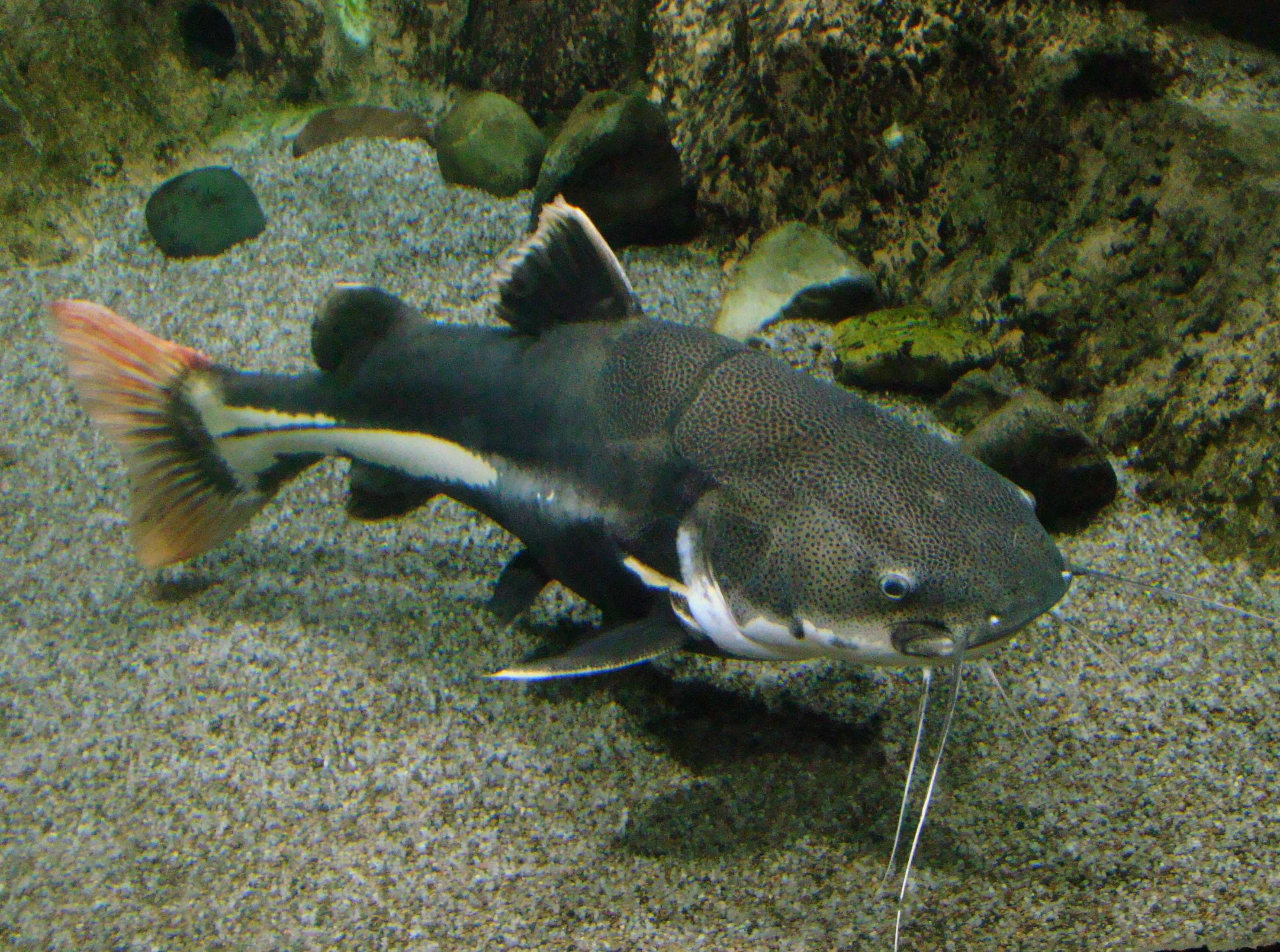 Redtail catfish swimming in tank