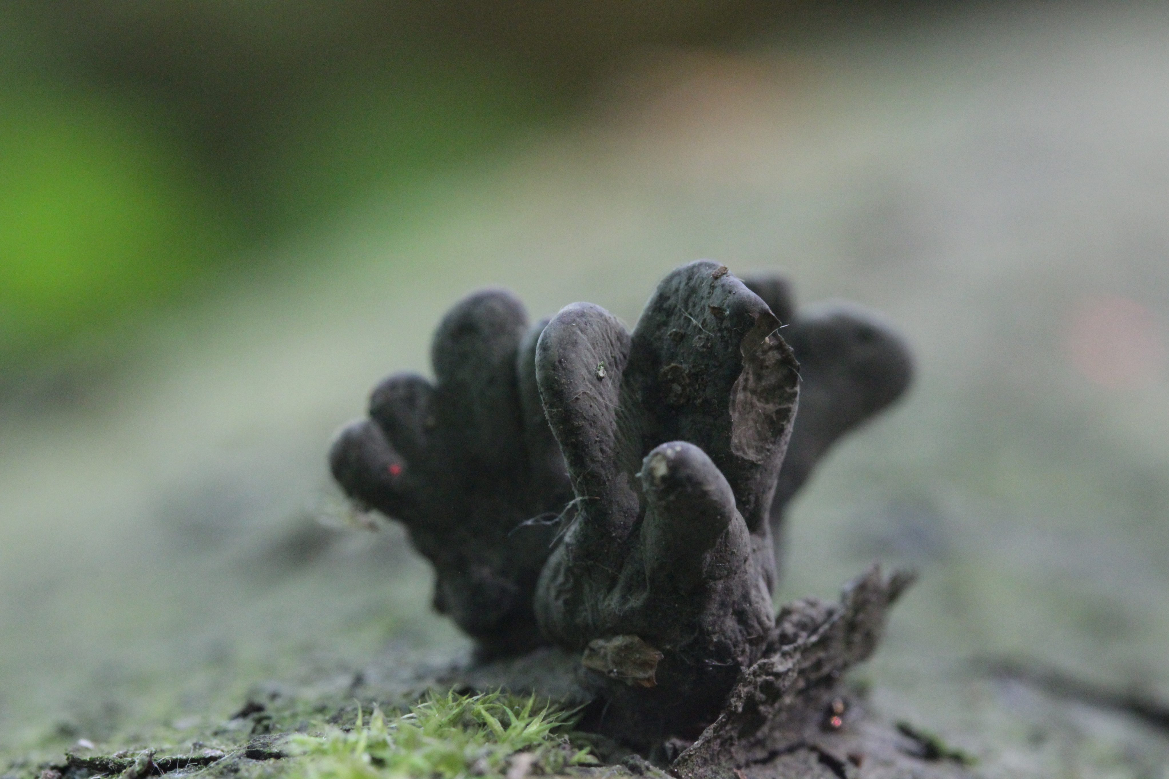 A dark-coloured fungus called Xylaria polymorpha