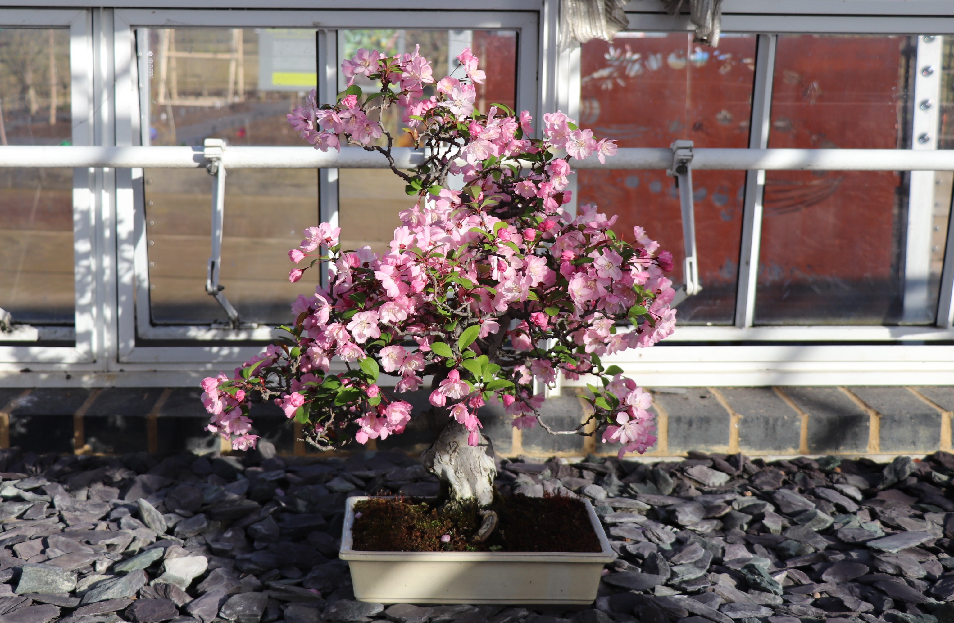 Pink flowers of bonsai Hall crabapple tree