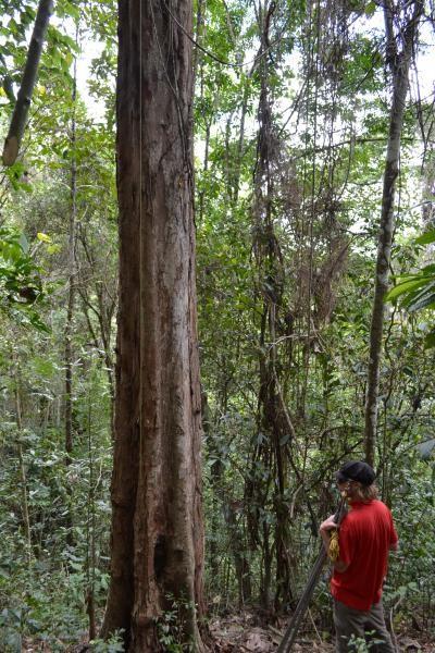 A Pau-brasil trunk, in Atlantic forest in Bahia, Brazil (Image: E. Gagnon)