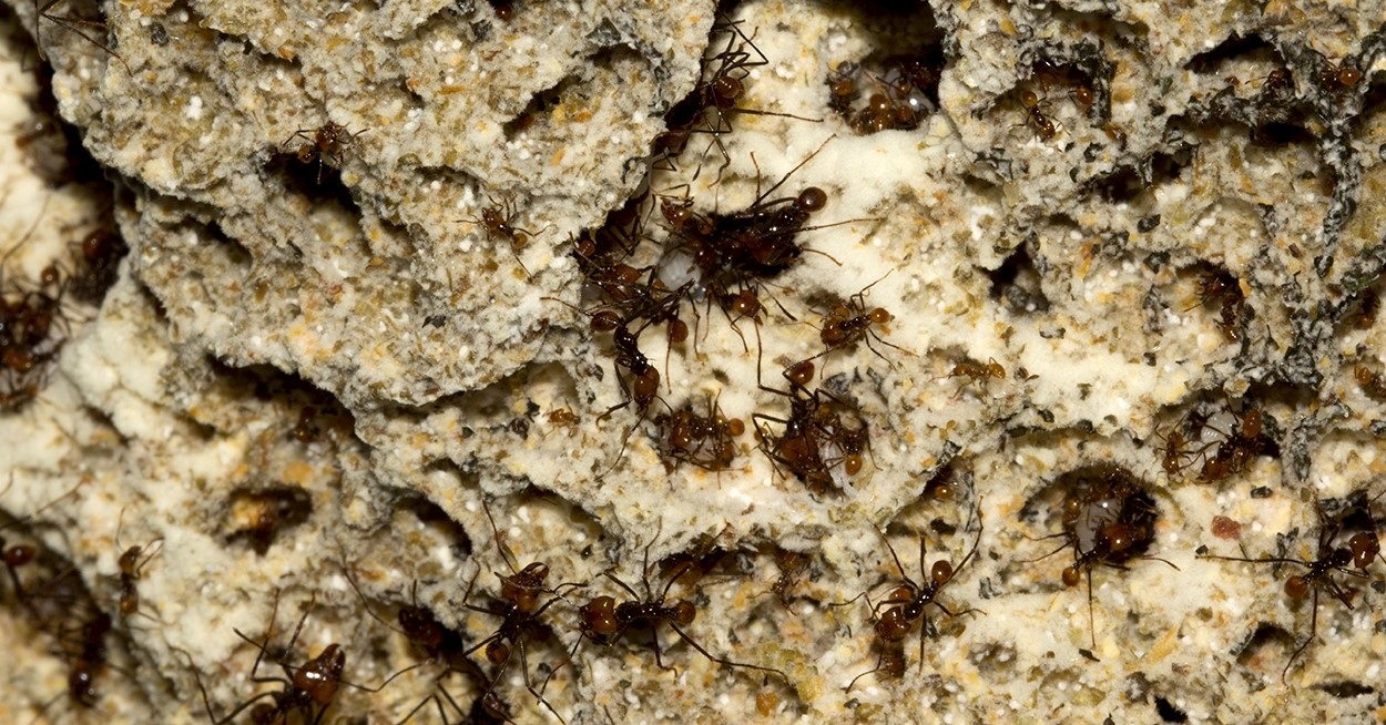 garden ants. Image Showing Atta Cephalotes Leaf-cutting Ants Tending Their Fungus Garden: The Black And Garden