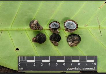 <em>Elaphomyces favosus</em> fruiting bodies from the Dja forest (Image: B. Dentinger)