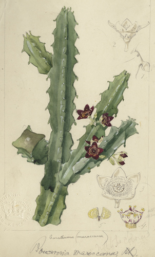 Caralluma maroccana by Fitch after Hooker