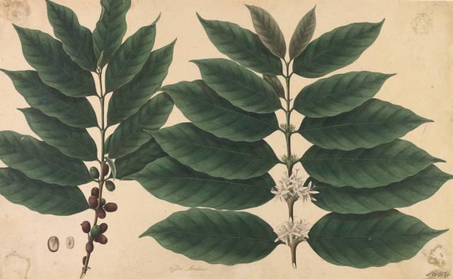 Coffea arabica, Company School, 19th century
