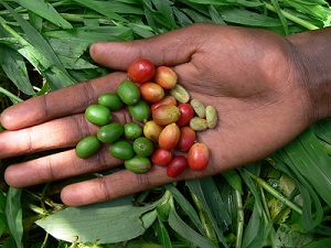Coffee fruits (cherry) and coffee seeds (beans) in the hand of an Ethiopian coffee farmer, souther Ethiopia - Credit - Aaron Davis RBG Kew