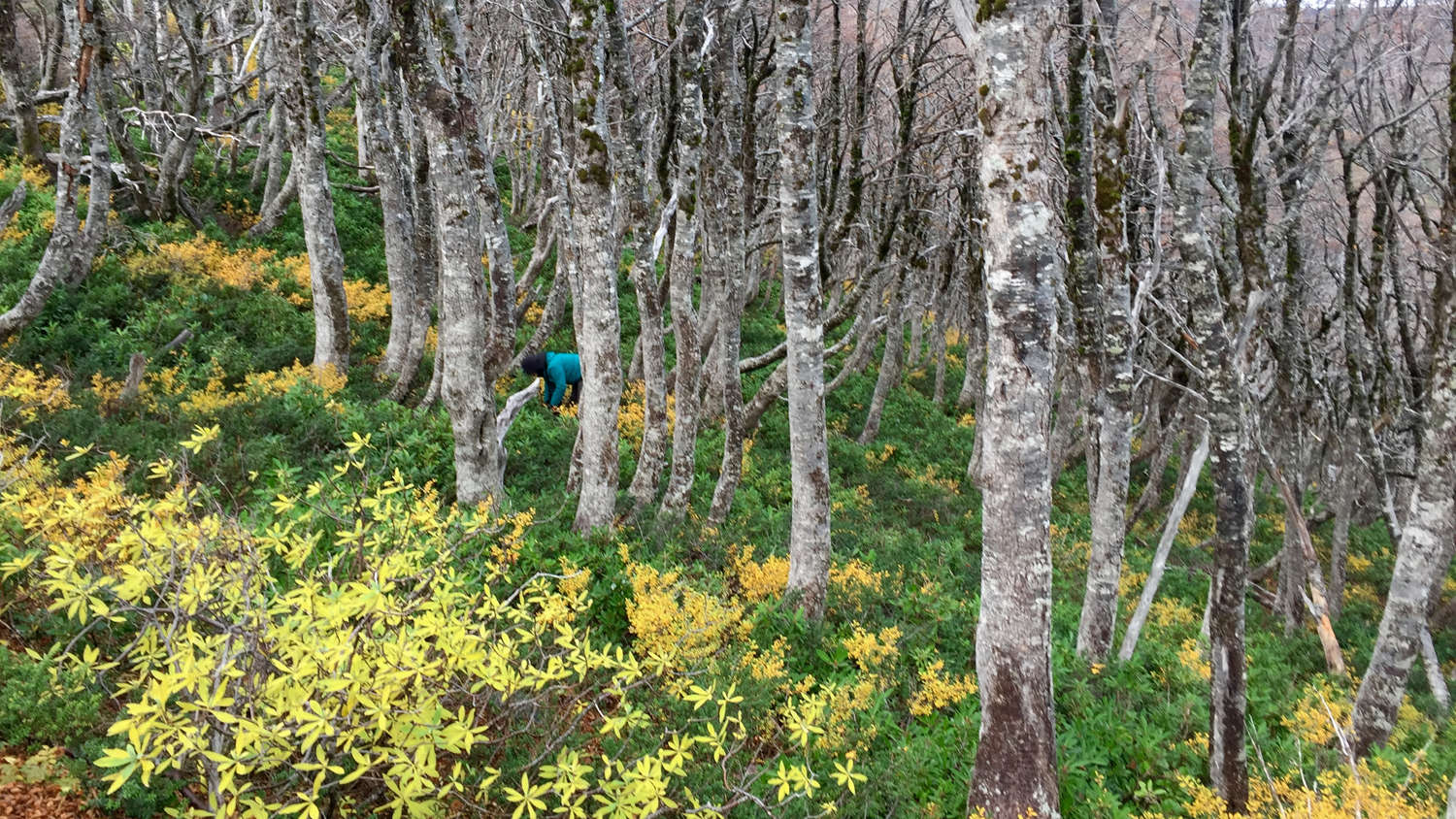 Chile: collecting fungi in the southern beech forests (image supplied by Dr Tuula Niskanen)