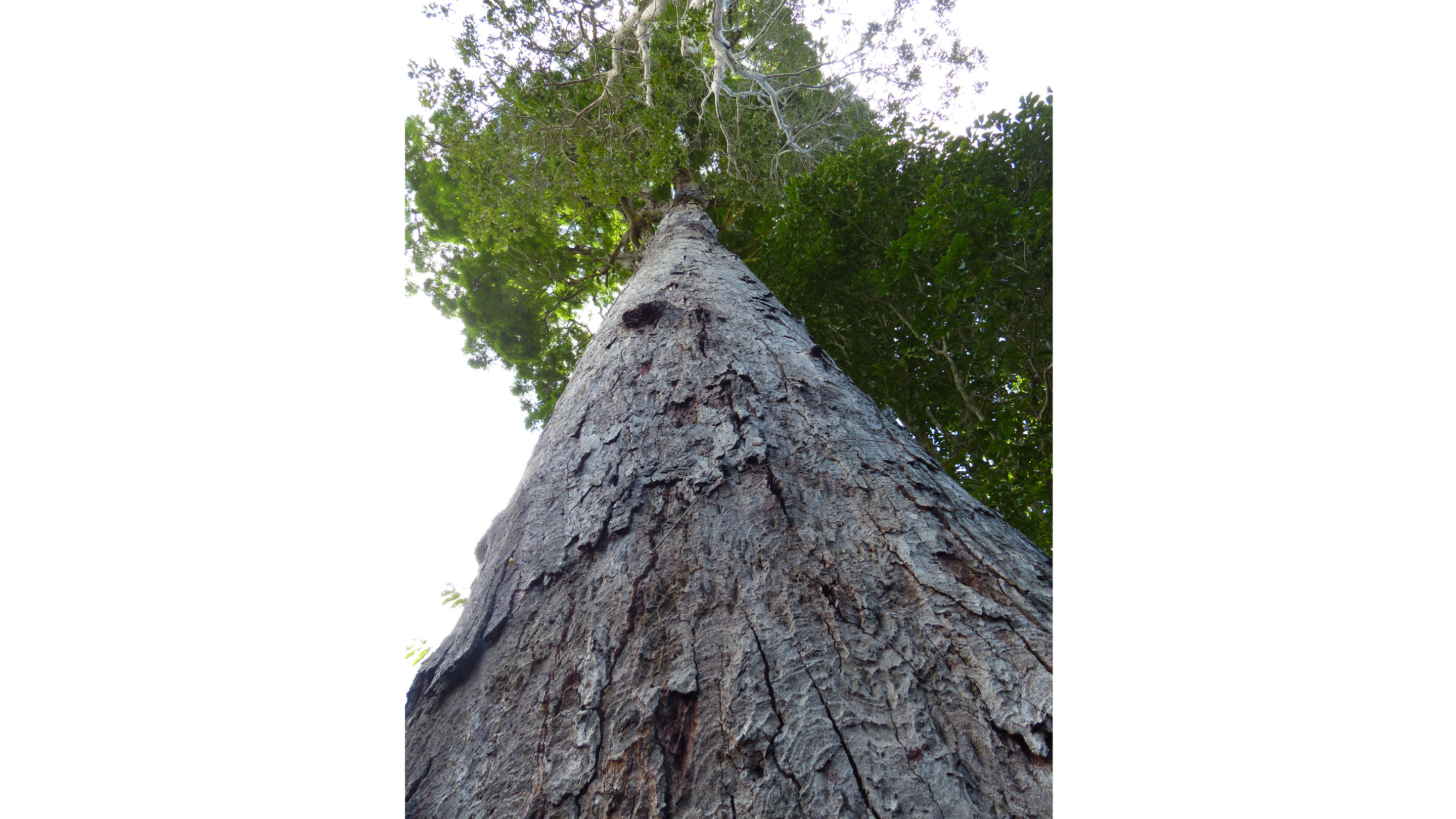 The impressive trunk with its characteristic bark breaking off in large plates (Photo © G.P. Lewis)