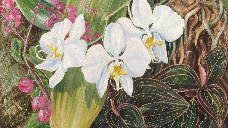 Phalaenopsis amabilis (L.) Blume, painted by Marianne North.