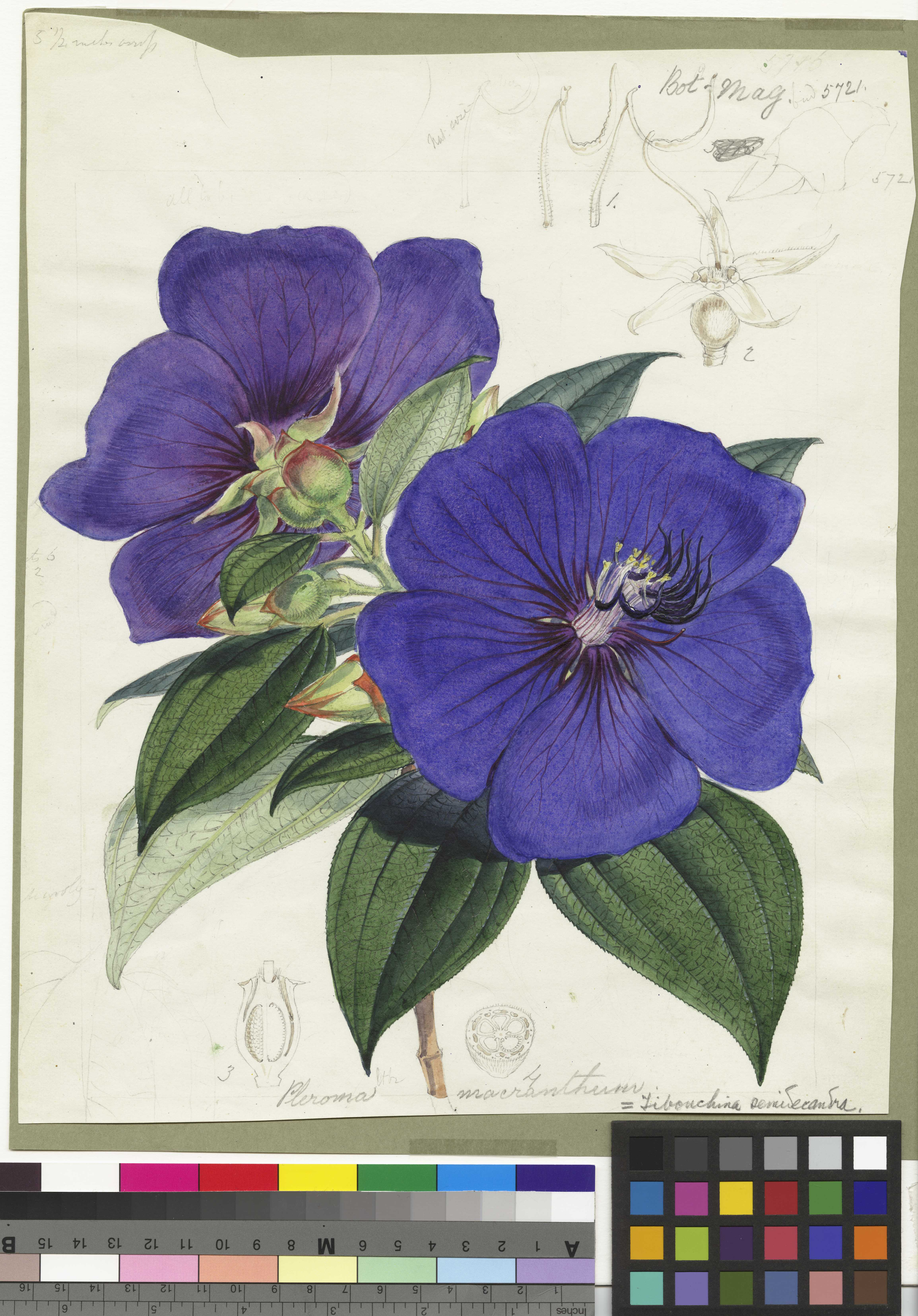Photo of another of Fitch's pieces for Curtis' Botanical Magazine.