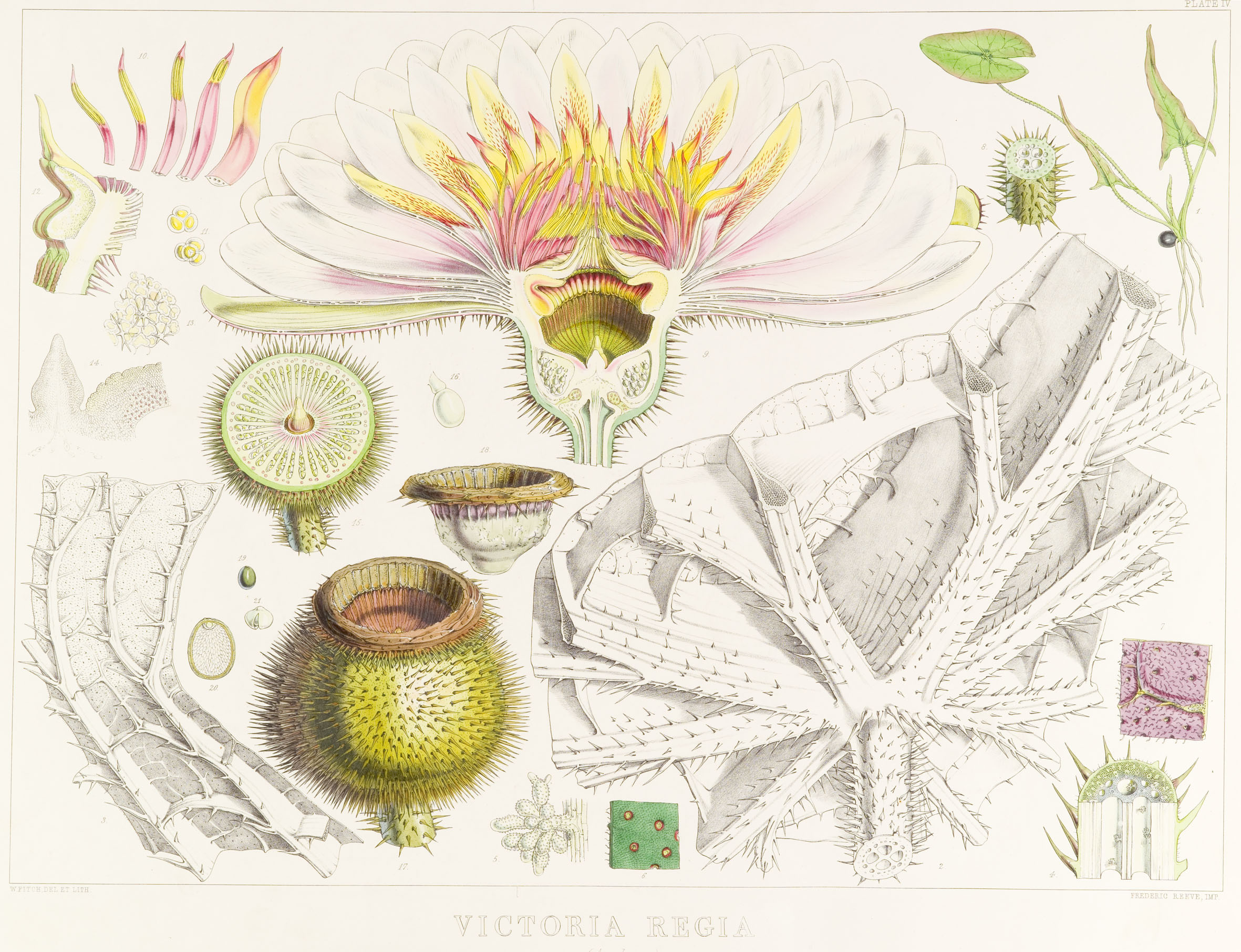 Photo of an iIlustration by Fitch of Victoria regia (now re-named Victoria amazonica).