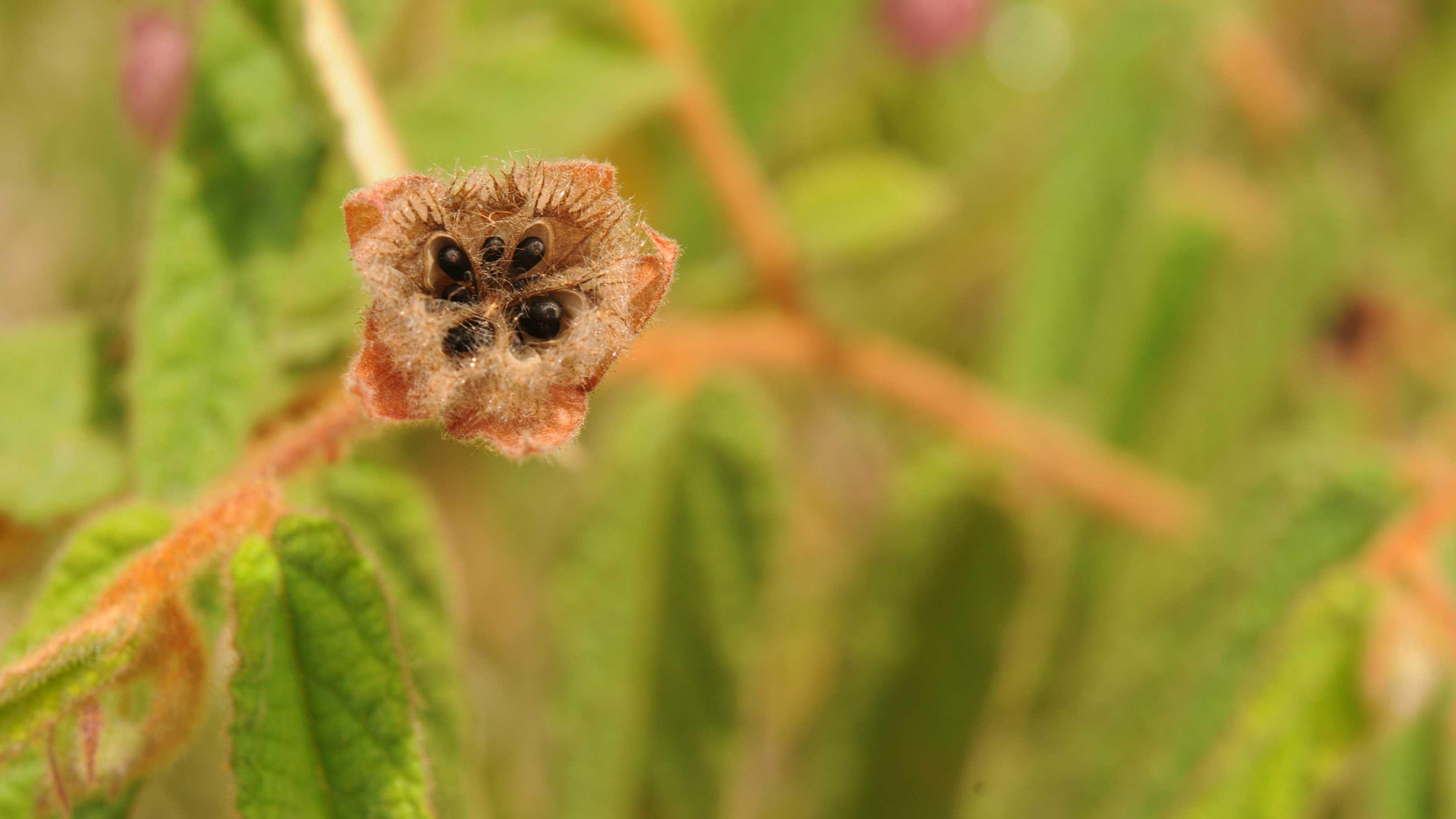 Image showing seeds of 'Keraudenia' at Botak.