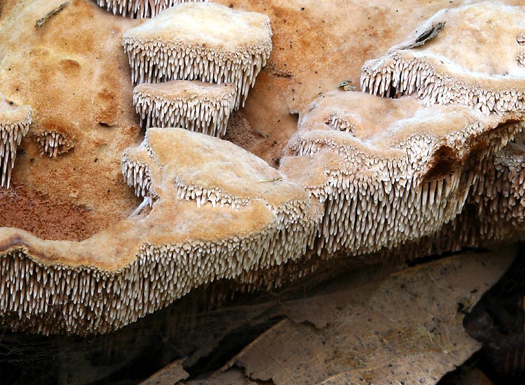 Photo of Hydnellum spongiosipes