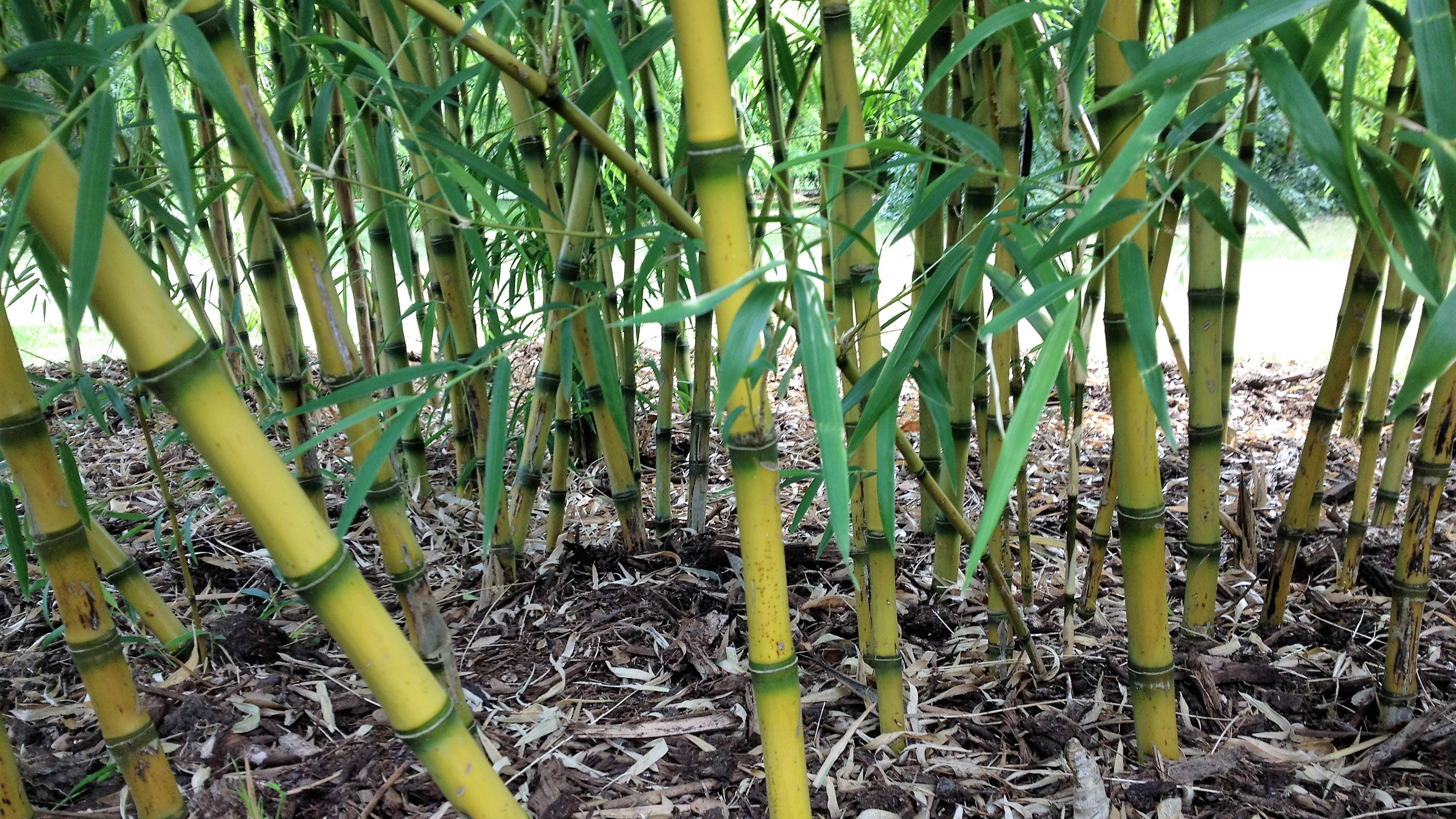 Bamboos From Victorian Curiosity To Elephant Food Kew