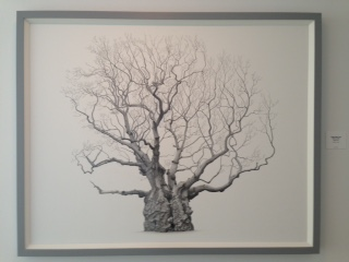 An image detail of Lydham Manor Oak (Quercus robur) by Mark Frith