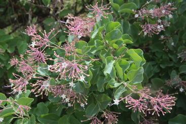 Newly described <em>Commicarpus macrothamnus</em> from Ethiopia (Image: I. Friis)