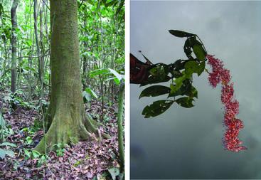 (L>R) <em>Tessmannia korupensis</em> and <em>Didelotia korupensis</em> from the Korup forest in Cameroon (Image: X. van der Burgt)