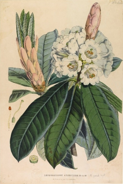 Photo of Rhododendron grande formerly Rhododendron argenteum, hand coloured lithograph