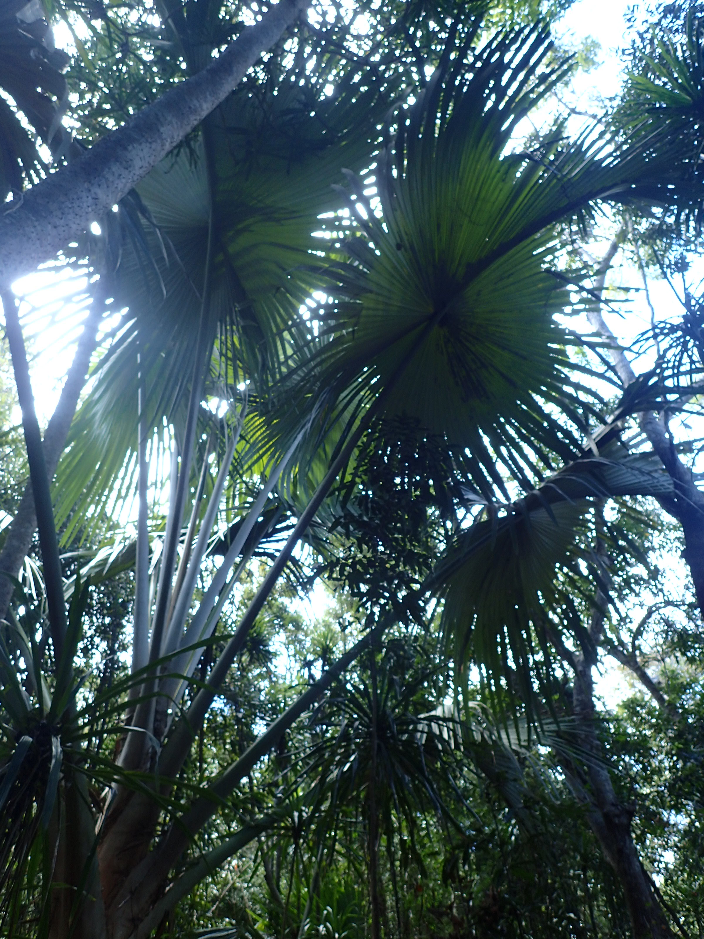 Image showing enormous leaves of Tahina spectabilis growing at the new site, near Amparahibe