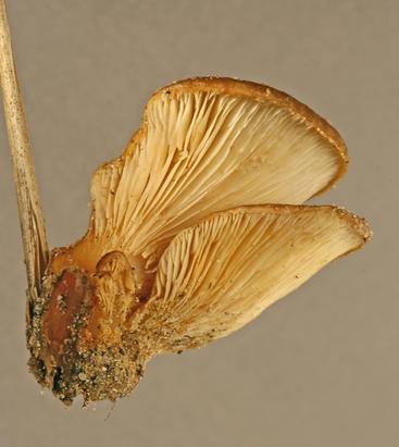 <em>Hohenbuehelia bonii</em> from marram grass in sand dunes at Sandwich, England (Image: M. Ainsworth)