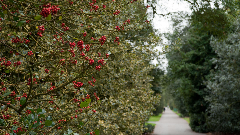Holly Walk in winter