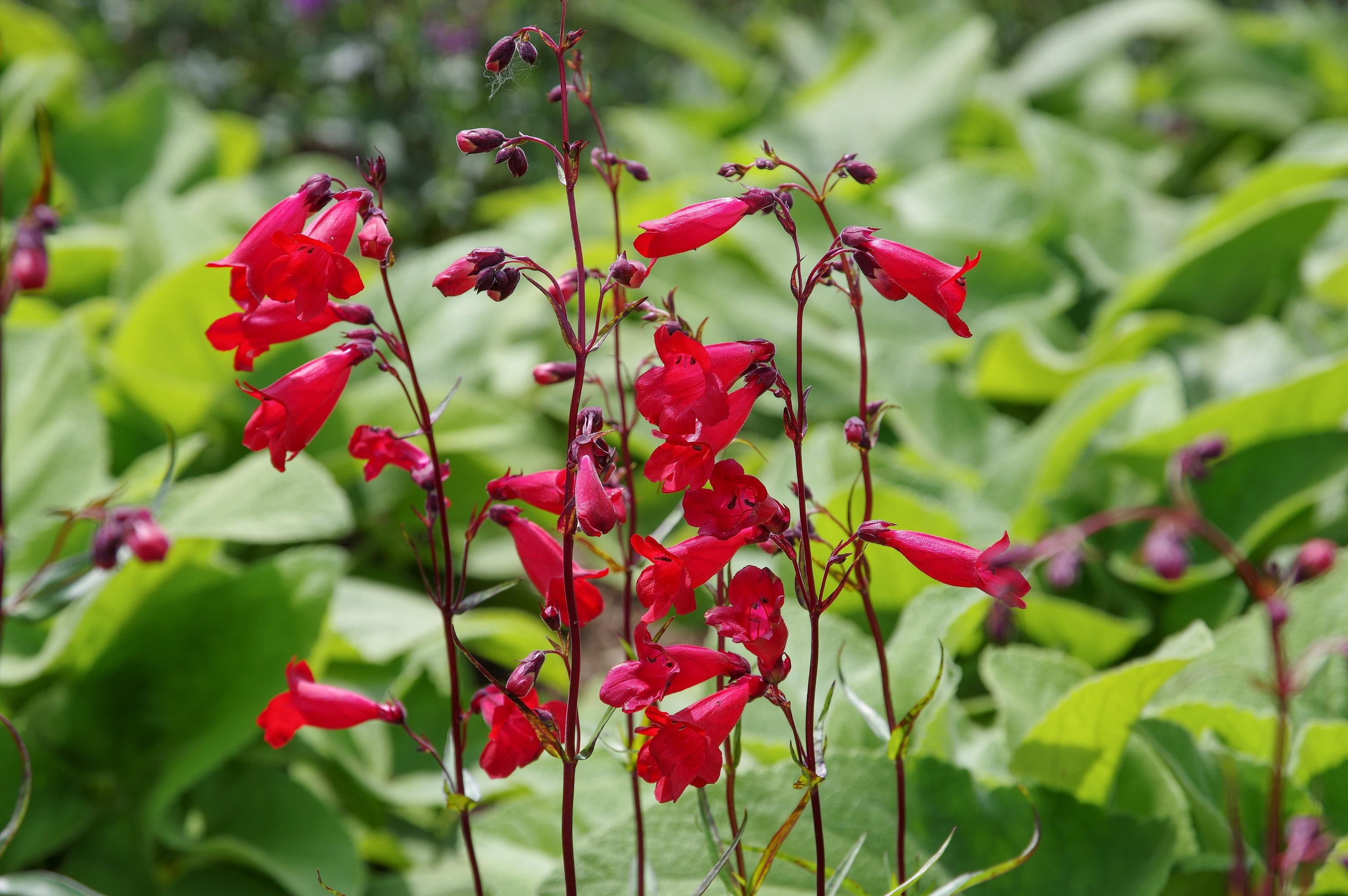 Picture of Live Beardtongue aka Penstemon 'Firebird' Perennial Plant Fit 1 Gallon Pot