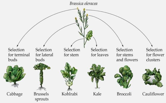 Image showing the transformation of wild cabbage by selective breeding into various vegetable types.