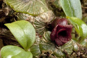 <em>Porpax verrucosa</em> from Cambodia (Image: A. Schuiteman)