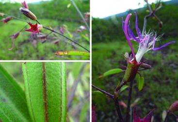 <em>Tibouchina rosanae</em> (Image W. Milliken)