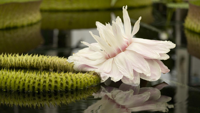 Victoria cruziana in bloom