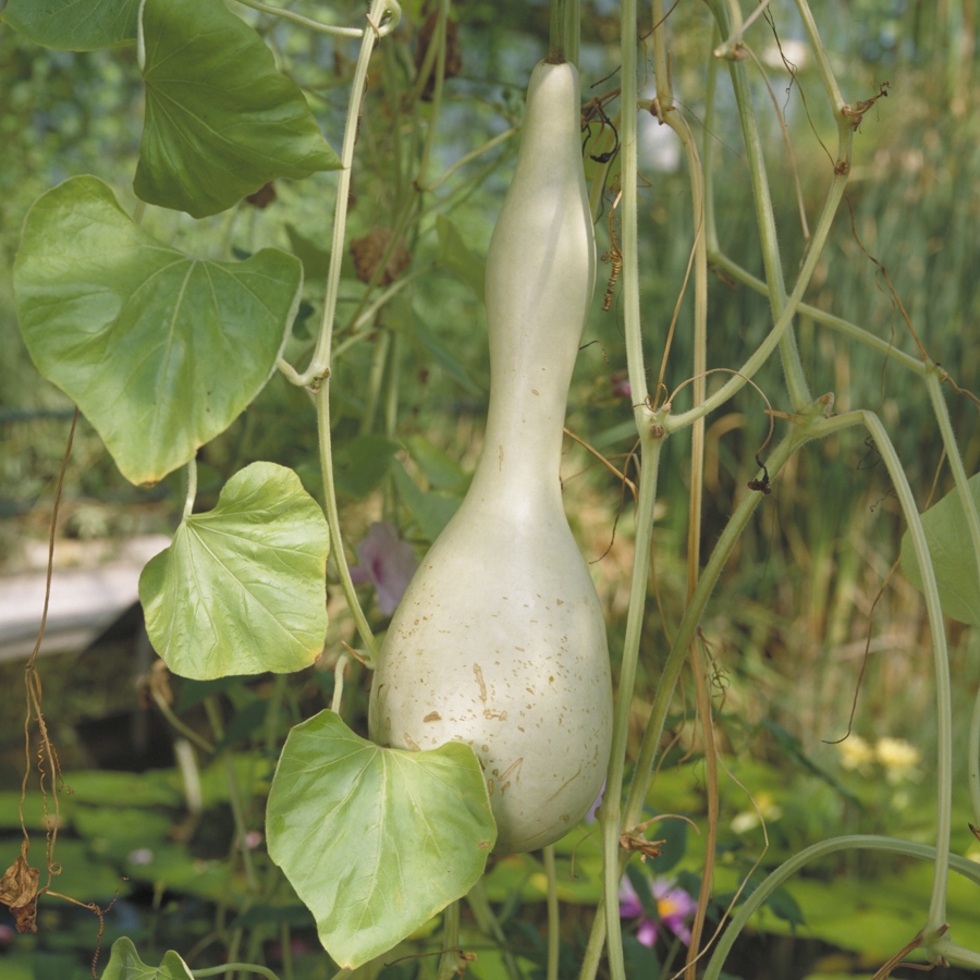 Gourd in the Waterlily House