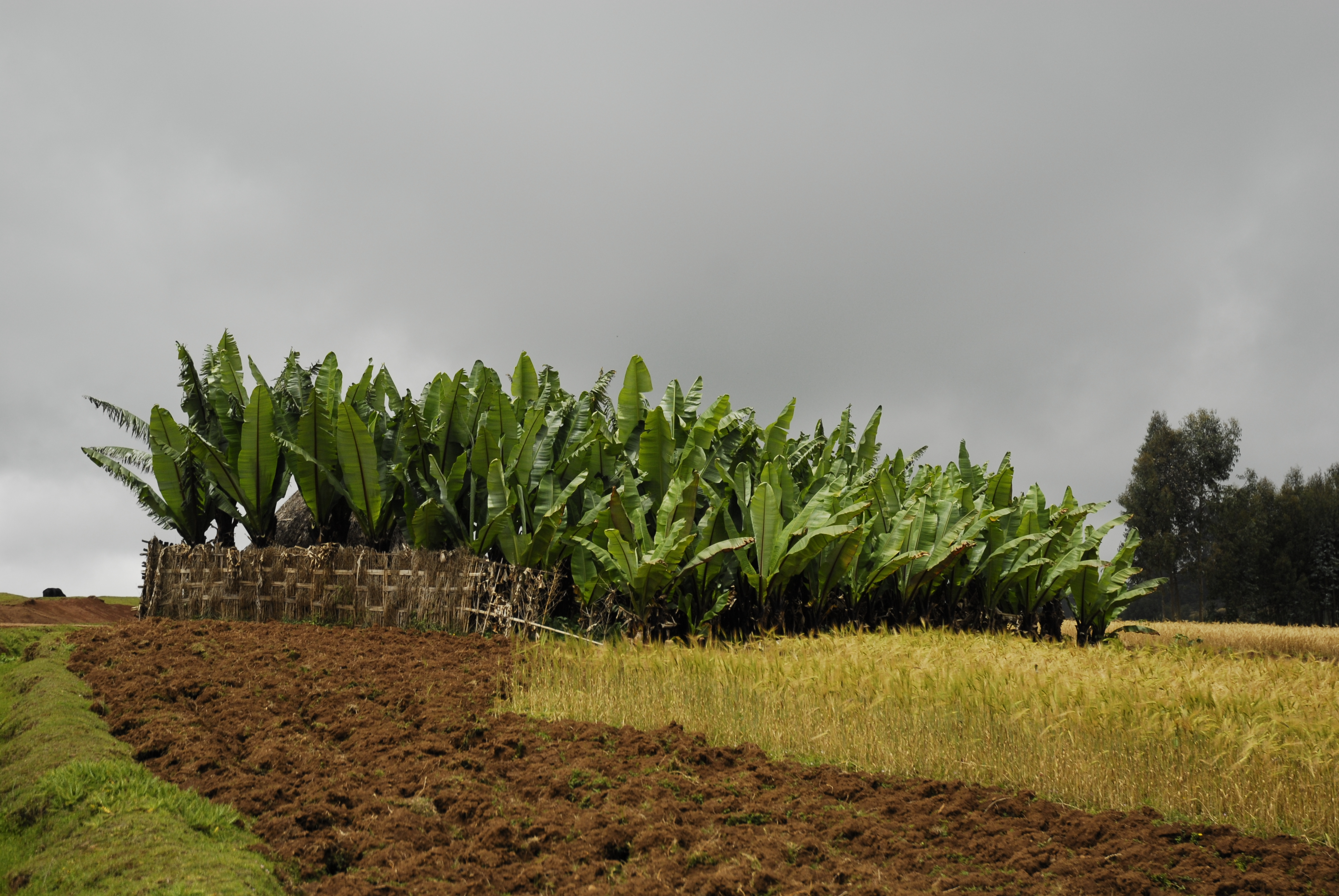 Image showing enset crops growing in Ethiopia