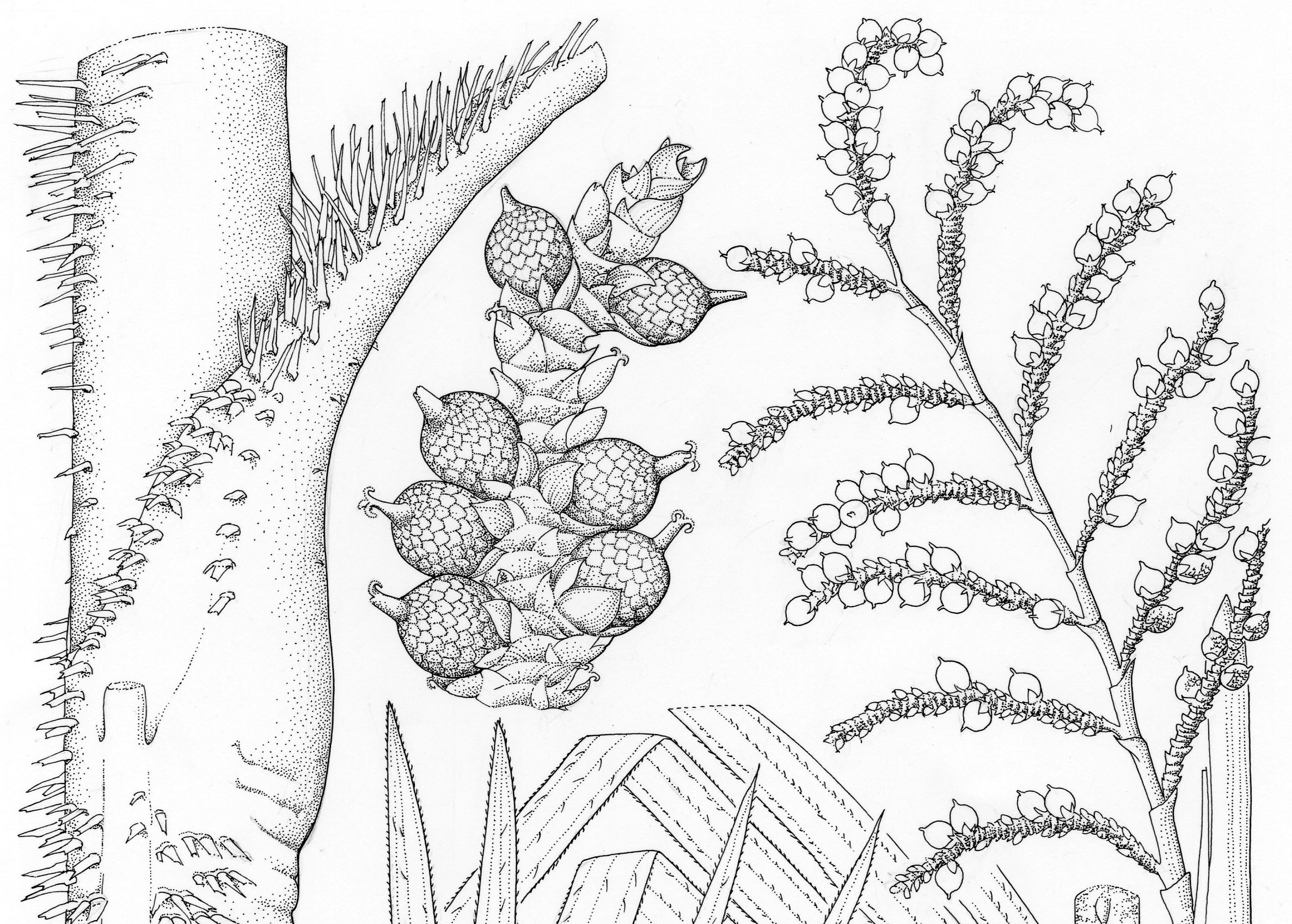 A section of Lucy Smith's Calamus eximus illustration