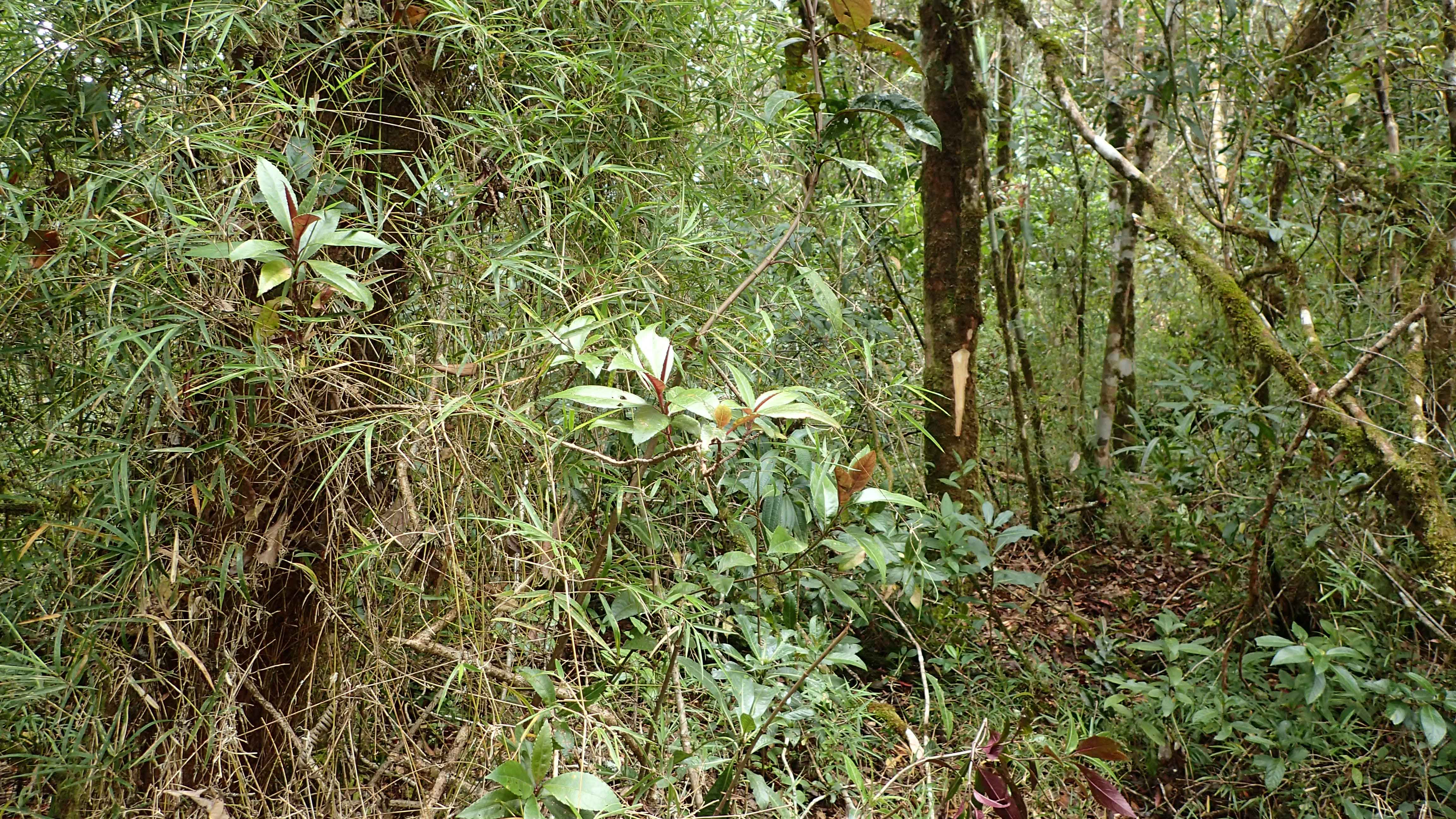 Image showing Bamboo forest with a climbing species of Nastus