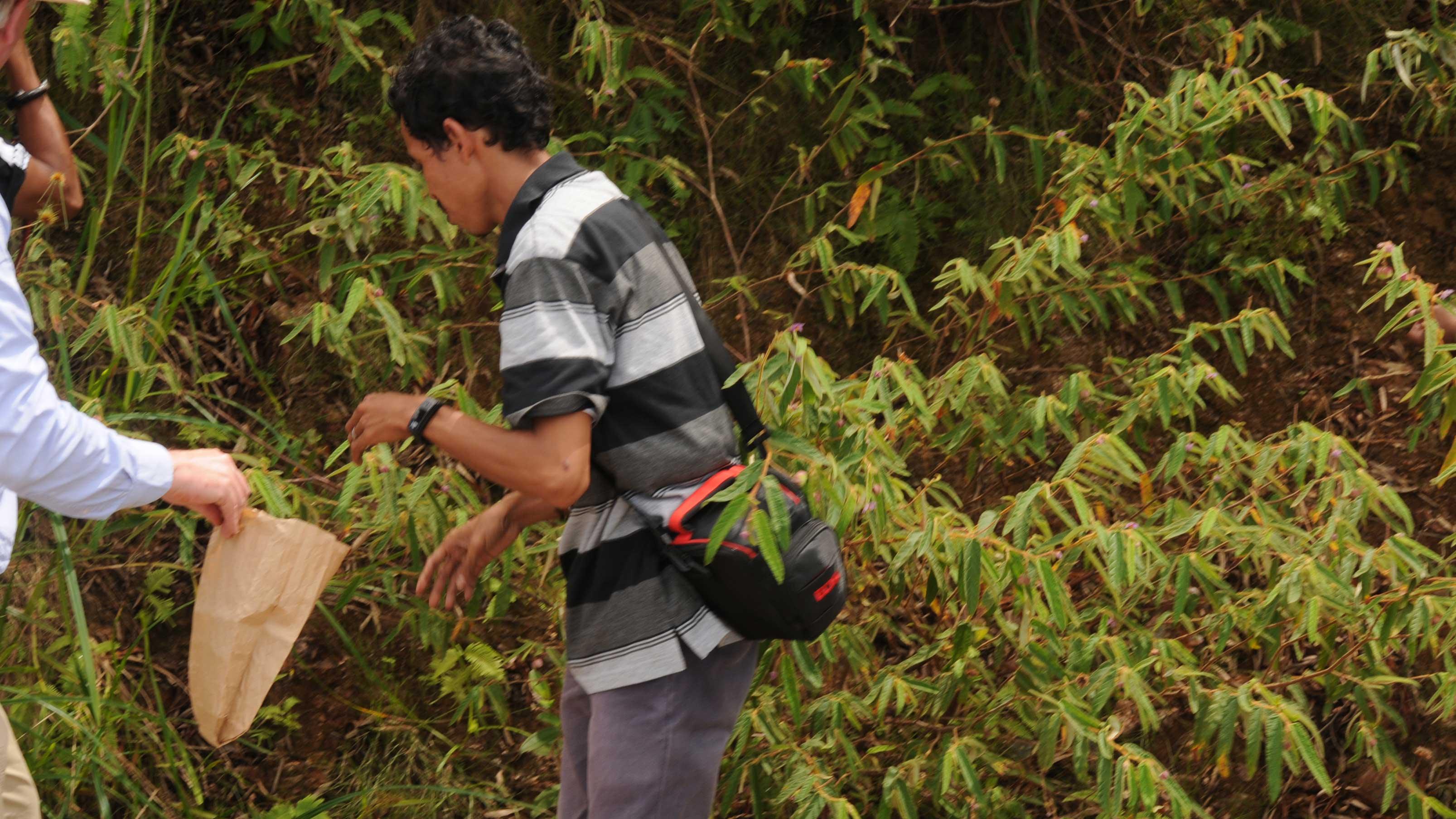 """Image showing collecting seed of the Botak """"Keraudenia"""""""