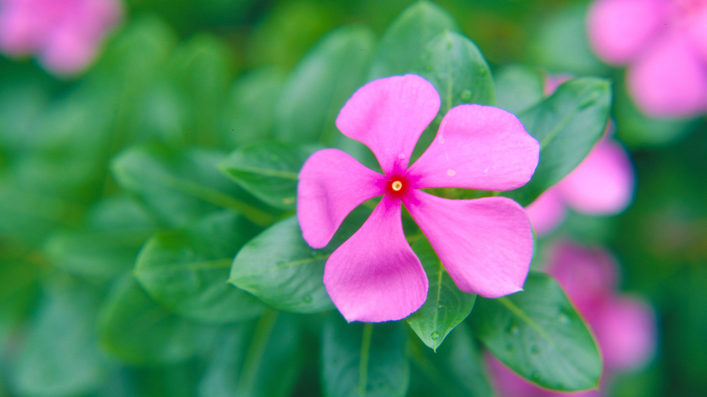 Madagascar periwinkle  (Catharanthus roseus) in the Palm House