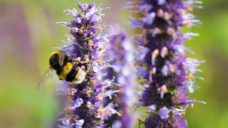 Bumble bee pollinating salvia in Great Broad Walk Borders
