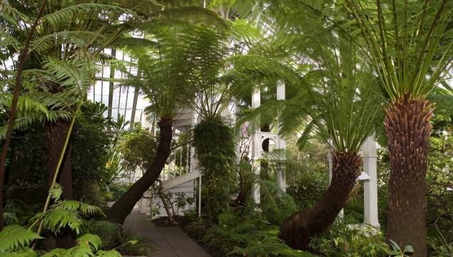 Temperate House tree ferns