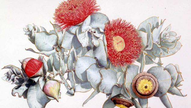 An illustration of Eucalyptus macrocarpa by David Mackay