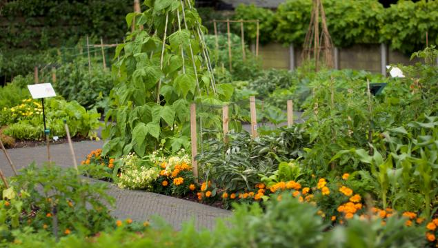 Vegetables growing in the Kitchen Garden