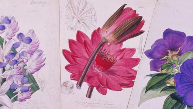 Botanical illustrations from Curtis's Botanical Magazine