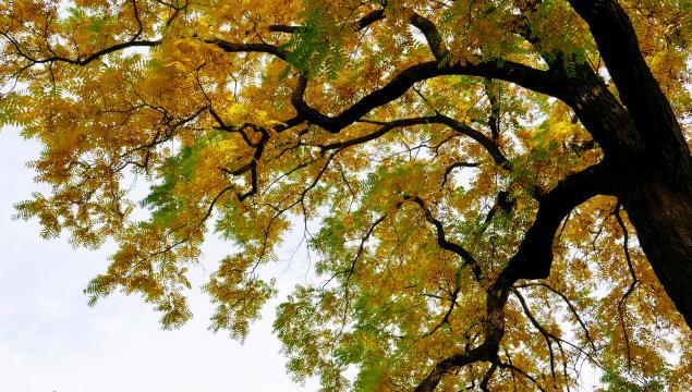 Black walnut tree at Kew