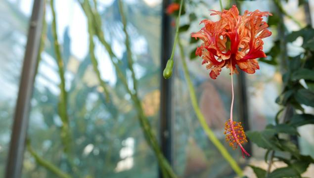 Japanese lantern (Hibiscus schizopetalus)