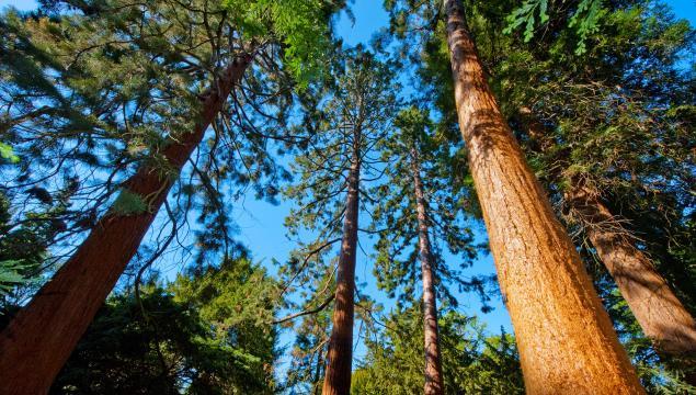 The Redwood Grove in the Arboretum at Kew